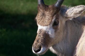 Antilope addax