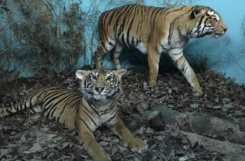 Tigres de bengala (Panthera tigris tigris)
