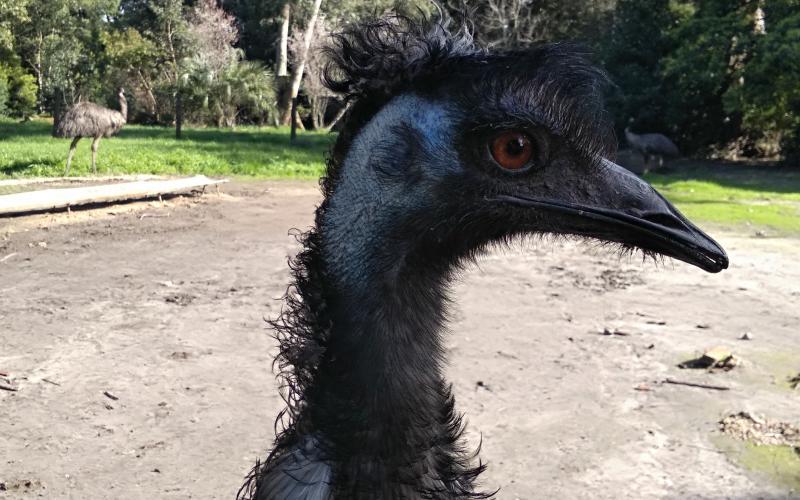 Emú (Dromaius novaehollandiae)